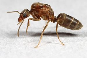 argentine-ants-command-pest-control