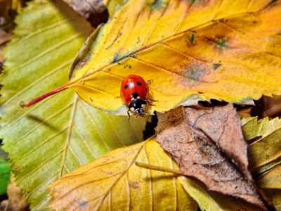 Ladybug on the fallen yellow leaves in the fall