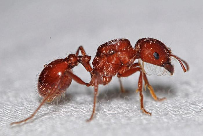 red-harvester-ants