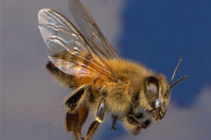 africanized-honey-bees-command-pest-control