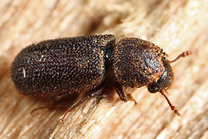 bostrichid powderpost beetle