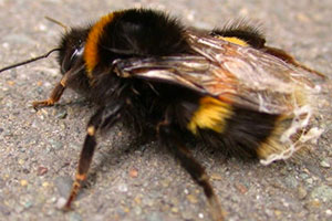 bumble-bees-command-pest-control