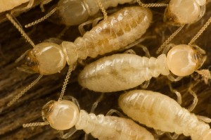 drywood-termite-300x199