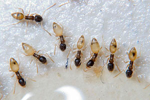 ghost-ants-command-pest-control