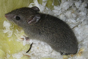 A mouse is a rodent - call Command Pest Control
