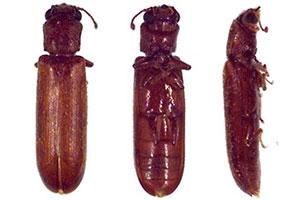 lyctid-powderpost-beetles-command-pest-control