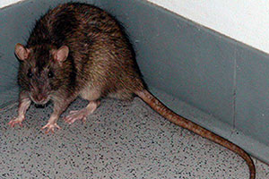 Is That A Mouse Or A Rat Just Ask Command Pest Control