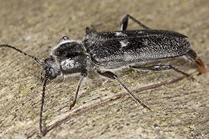 old house wood borer beetle