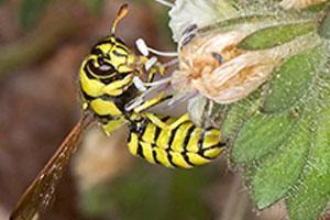 pollen wasp