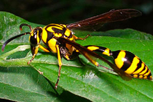 potter-wasps-command-pest-control