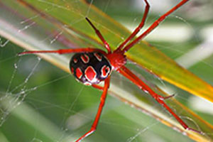 red widow spiders