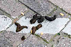 roof-rat-droppings-rodents-command-pest-control