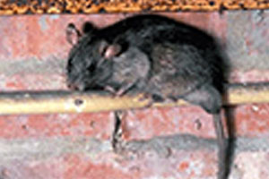 roof-rat-rodents-command-pest-control