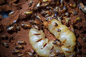 subterranean-termite-command-pest-control