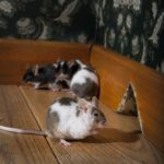 rodent control, mouse infestation, pest control south florida
