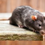 The Dangers of Rats on Your Health