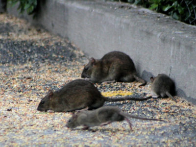 rodent infestation south florida, pest control ft lauderdale