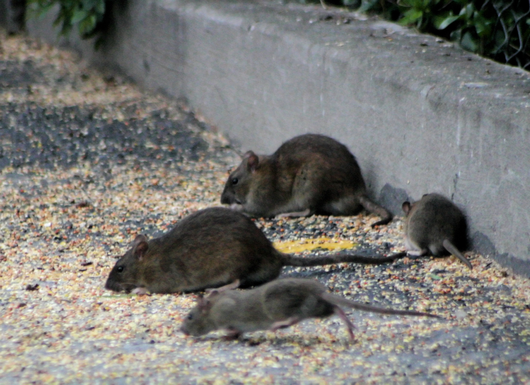 Rodent Infestation Harmful To My Health Command Pest