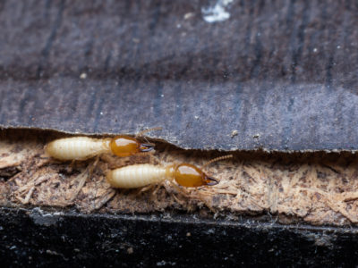 8 Wood Eating Bugs That Will Damage the Structure of Your Home