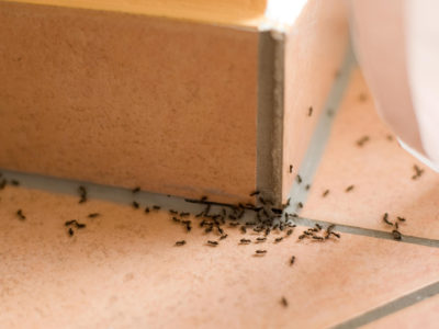 How to Deal With the Most Common Types of House Ants
