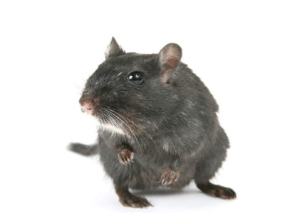 Oh, Rats: Florida Rodents to Look Out For