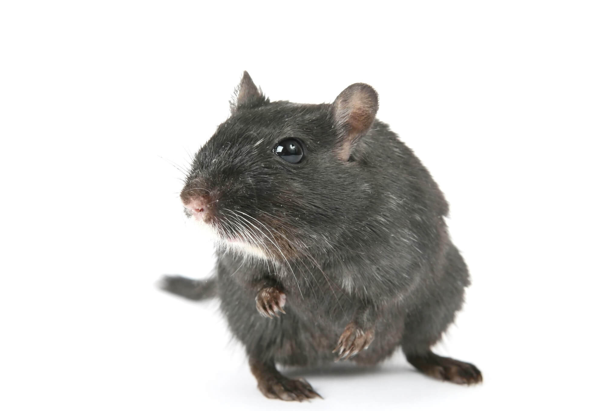 Florida Rodents to Look Out For | Pest Control in South Florida