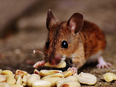 mice infestation - a mice chewing on peanuts