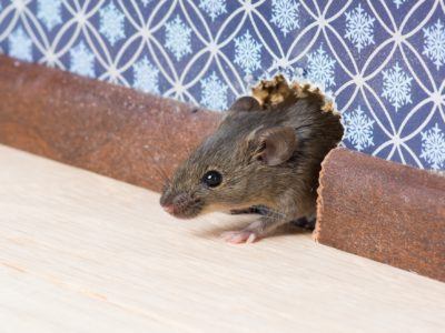 What to Do about Mice in Walls