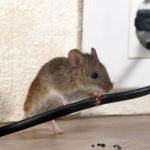 6 Tips to Help Prevent Rats and Mice from Invading Your Home