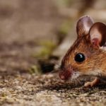 Rats, Mice, and Other Rodents: The Most Common South Florida Rodents to Watch Out for