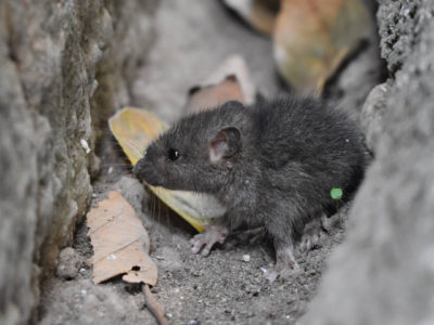 What Attracts Rats and Other Rodents to Your Home? (And What to Do About it)