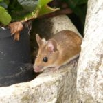 Why Do Mice Come From, Anyway? House the Mouse Got in Your House