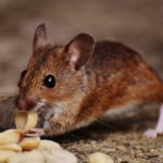 8 Natural Rodent Repellent Methods