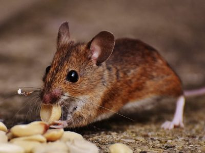 Natural Rodent Repellant Methods | How to Get Rid of Rodents in South Florida
