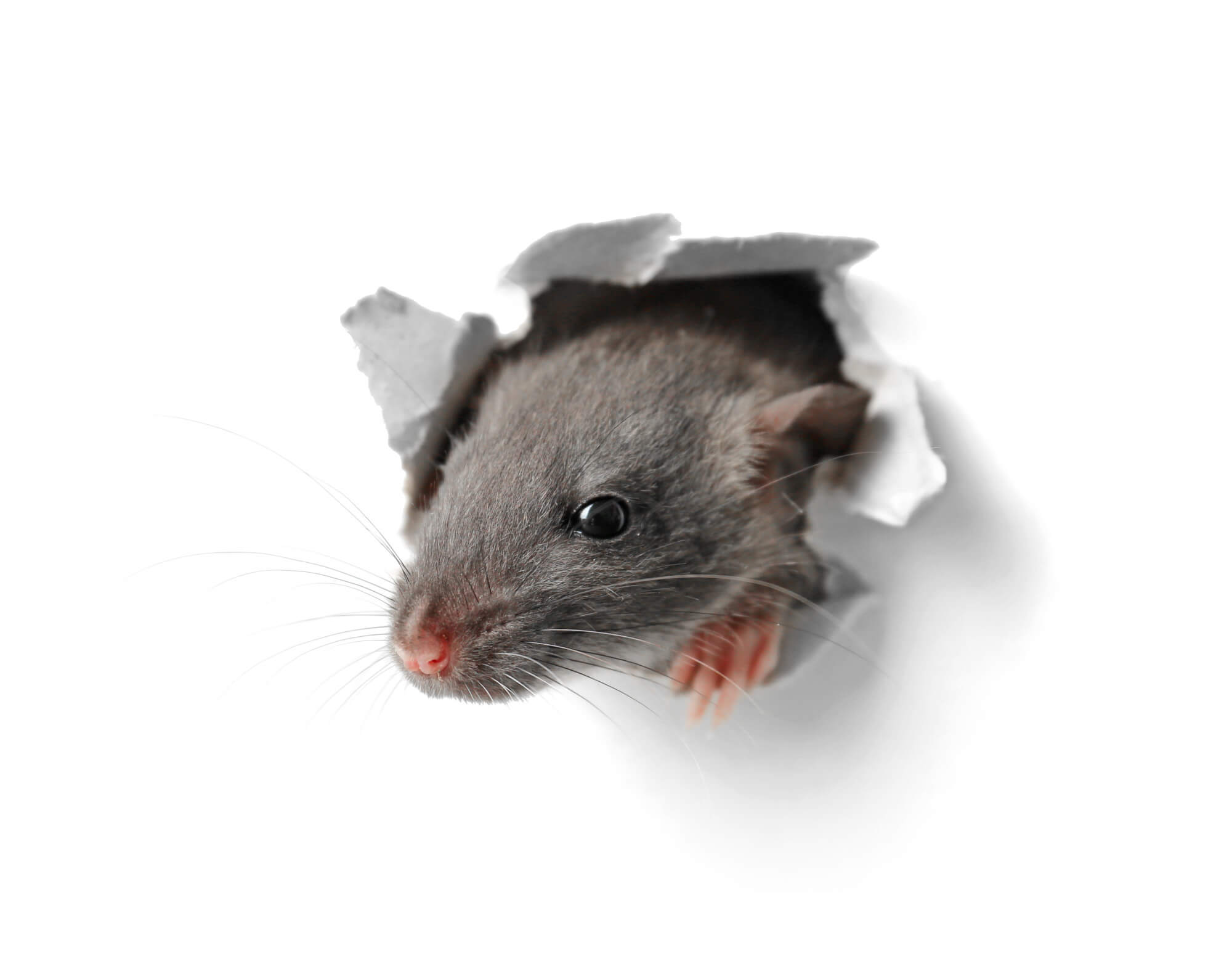 Prevent Large Rodents | Pest Control in Florida