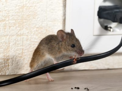 Rodent Season's Almost Here: 7 Rat Facts You Probably Didn't Know