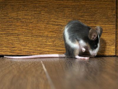 How to Get Rid of Mice | Pest Control Services