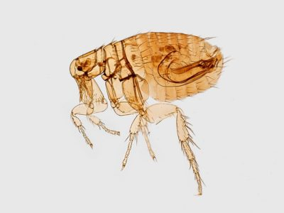 What Do Fleas Look Like? | Command Pest Control